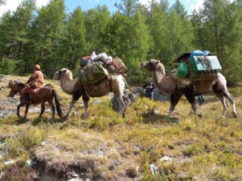 Camels in Mongolia